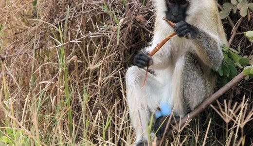 金玉を真っ青・陰茎は真っ赤にしてメスにアピールするヤツ「サバンナモンキー」
