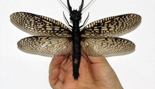 【動画】あまりにも巨大すぎる!!羽を広げると22cmもあるオオキバヘビトンボ「Acanthacorydalis fruhstorferi」