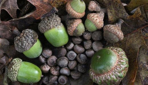 ドングリが木まで成長するのは1000個のうち6個