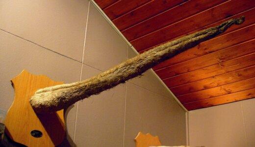 全てが巨大!!動物界最大の3mのペニスを持つシロナガスクジラ