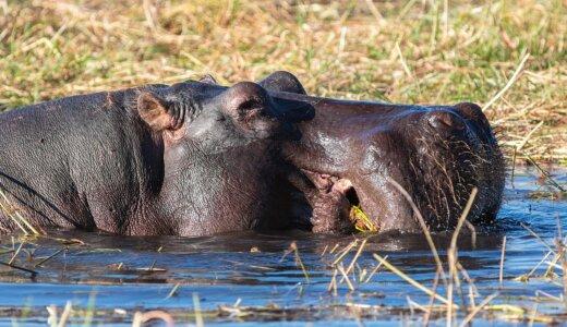 カバは食べること以外は全て水中で行う