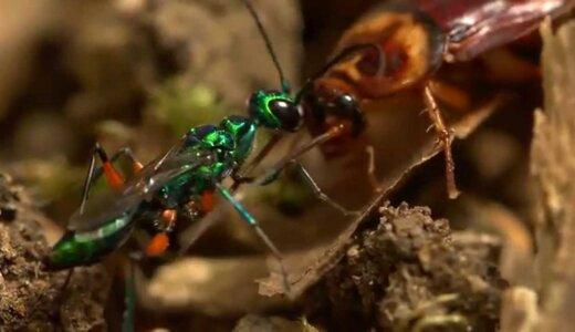 【動画】生きたゴキブリを幼虫のエサとする最強のゴキブリハンター「エメラルドゴキブリバチ」