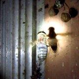 【動画】スズメバチがコガネバチの巣にかかるも…まさかのスズメバチ死亡