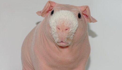 【動画】品種改良の成れの果て!無毛なうえに鼻にだけ毛を残されたスキニーギニアピッグ