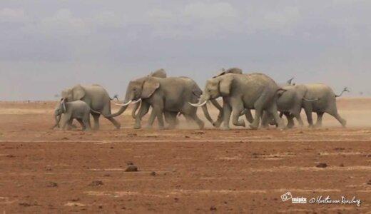 ゾウは走ることができないので急いでいる時は早歩きする