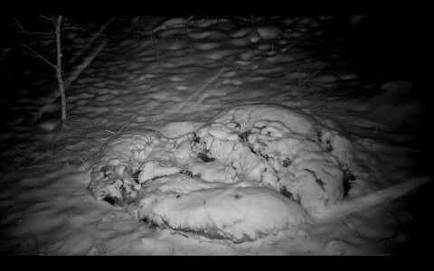 【動画】体に雪を積もらせながら集まって眠る野生のイノシシ