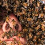 【動画】女王バチのフェロモンを身にまとって全身をミツバチだらけにする男性