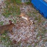 【動画】ぐったりしているウサギを容赦なく蹴りまくるウサギ