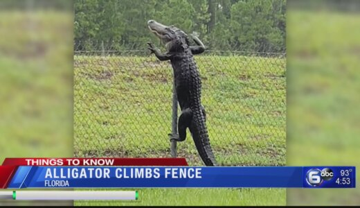 【動画】フェンス?そんなの関係ねぇ!アリゲーターがフェンスをよじ登る