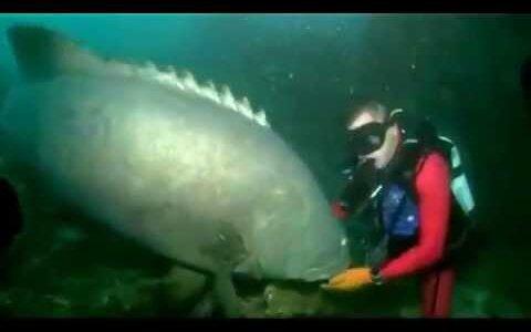 【動画】巨大な魚と仲良し…と思わせておいてみぞおちに腹パン!!
