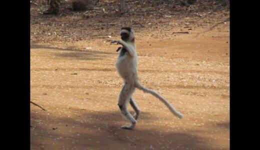 直立姿勢で二足歩行する姿が人間みたいなサル「ベローシファカ」