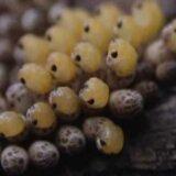 【閲覧注意】コオイムシの背中に産み付けられた卵から大量の赤ちゃんが一気に産まれる