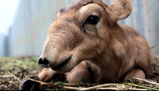 鼻の穴がでかすぎ!なんの動物か困惑させる顔の持ち主「サイガ」