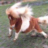 超短足のミニチュアホースが憤って飛び跳ねるも迫力がなさすぎる