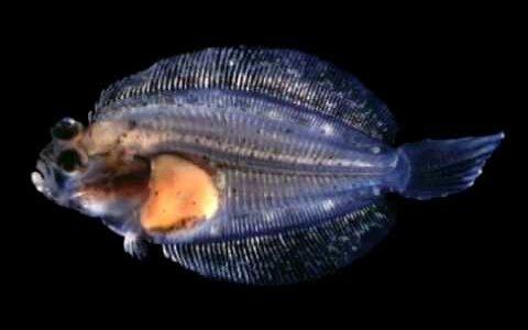 ヒラメは赤ちゃんの時は体の両側に眼があって普通の魚みたい