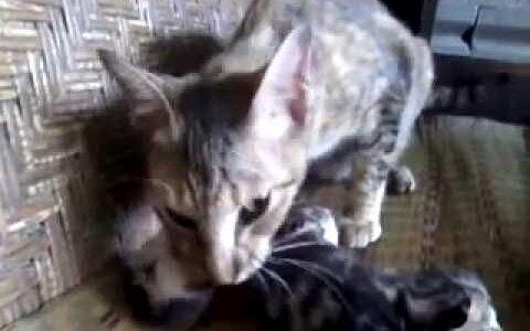 【閲覧注意】ネコは自分の子どもを食べることがある
