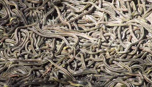 ん?なんか動いていると思ったら大量のヘビがうねうねうねうね
