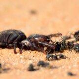 アリの巣を襲撃し巣から出てくるアリを片っ端から殺戮していくヒヨケムシ