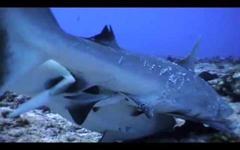 【動画】サメはオスがメスに思いっきり噛みつきながら交尾する