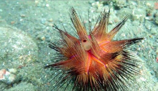 赤と青の体色、自己主張しすぎな棘、危険だと丸わかりな生物「アカオニガゼ」