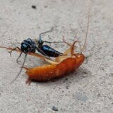 【動画】エメラルドゴキブリバチが執念深くゴキブリを追い回して卵を産み付ける