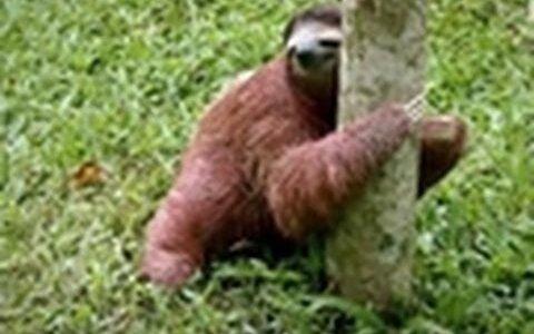 ナマケモノはウンコをする時は木から降りる