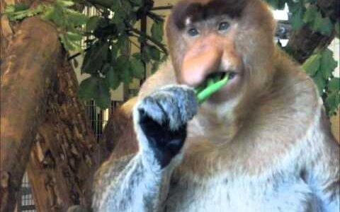 【動画】エサを食べるテングザルがどこかにいそうなオッサンにしか見えない