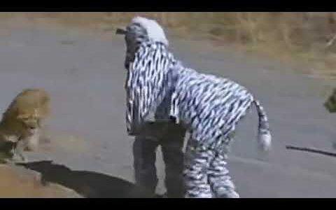 【動画】シマウマに扮した男、シマウマに逃げられるしライオンにも襲われる