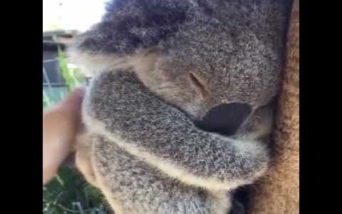コアラはユーカリの毒を分解するのにエネルギーを使い過ぎて22時間寝る