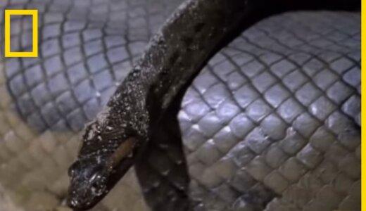 オオアナコンダは生まれた時から既にマムシサイズ