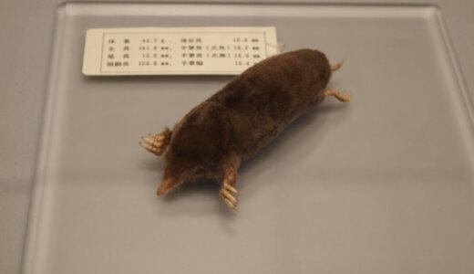 モグラ科に属するニホンモグラ属は書き間違いで学名が「mogera(モゲラ)」になった