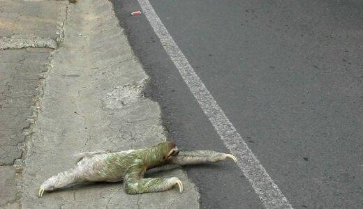 【動画】ナマケモノが無謀にも道路を横断しようとするも動きが遅すぎる