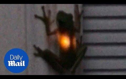 【動画】生物発光するカエル??いいえ、食べられたホタルの光です。