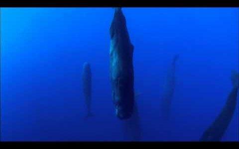 【動画】海中で垂直になって寝ているマッコウクジラの群れの異様な光景