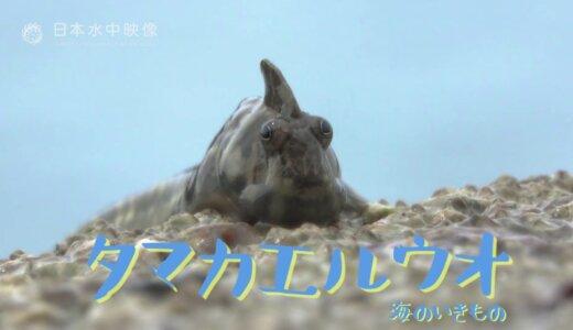 魚なのに水を嫌がるという魚類で一番トガっているヤツ「タマカエルウオ」