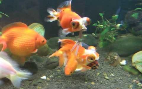 【動画】ヒレを損傷している金魚、浮き輪をつけてもらって泳げるようになる
