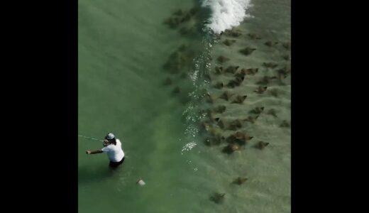 【動画】志村!うしろ!うしろ!釣り人の後ろを泳ぐエイの大群