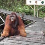 【動画】オラウータンの口からバナナを盗もうとしたサル、オラウータンの逆鱗に触れる