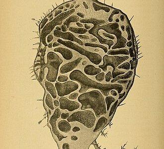 アリの要塞となるために進化した植物「アリノストリデ」