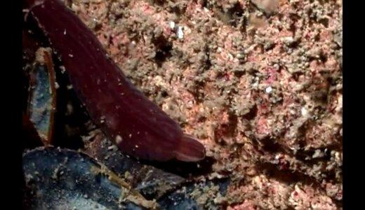 世界最長の生物??体長55mのヒモムシの仲間「ブーツレースワーム」