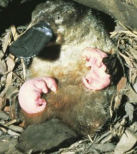 哺乳類だけど乳首がないので皮膚からじんわり母乳を出すヤツ「カモノハシ」