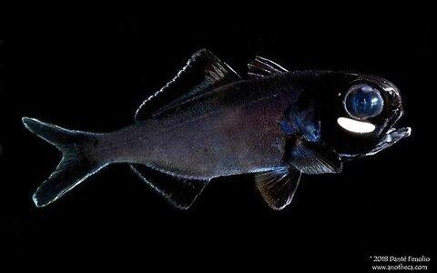 暗闇に光る無数の目??共生させている細菌を使って光るヤツ「ヒカリキンメダイ」