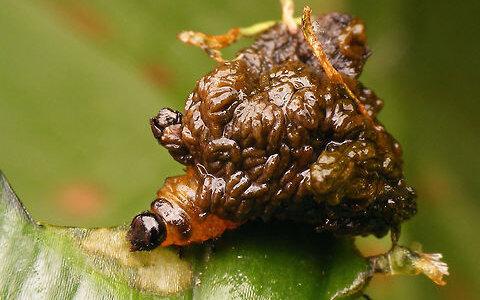 ウンコを身にまとった虫の見た目がウンコそのもの「オウシュウユリクビナガハムシ」