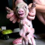 【動画】8本脚で生まれた奇形の子ブタ、普通に生活をしている