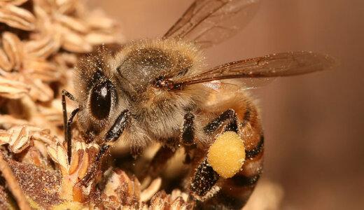 ミツバチの一日の労働時間は6.7時間、働かない時はブラブラしている