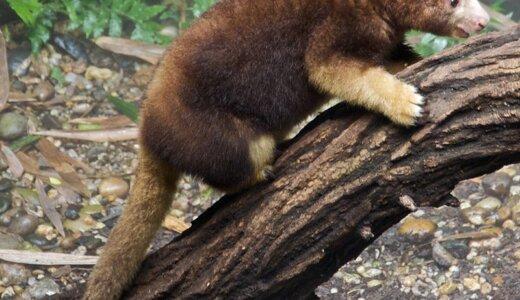 カンガルーってなんだっけ?樹上でも生活できる「キノボリカンガルー」