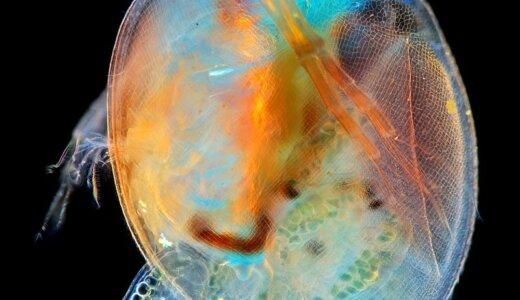 日本にいるミジンコは北アメリカから来た4匹が増えた外来種