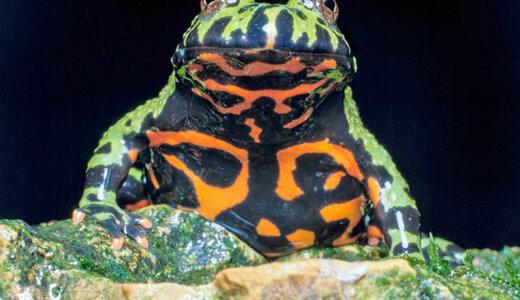 背中は保護色、腹は警戒色の中途半端なヤツ「チョウセンスズガエル」