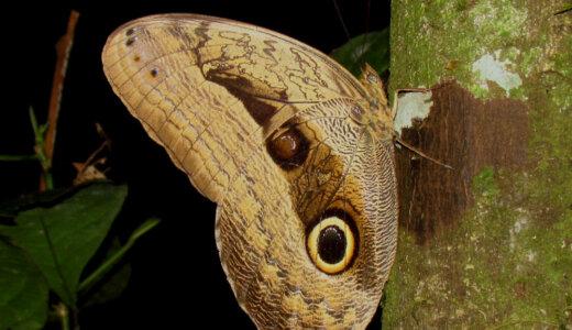 実はフクロウの目の擬態をしていたわけじゃないかもしれません…「フクロウチョウ」