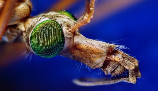 ガガンボとカ(蚊)の違いとは?